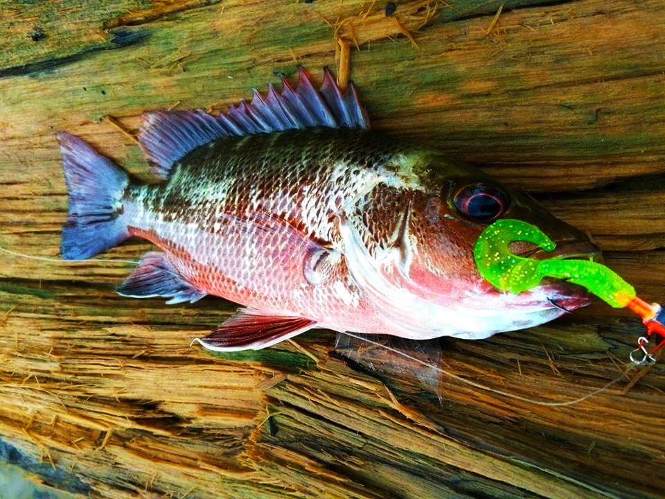 soft bait kanicen nix curly tail fluorescent green MJ Mangrove Jack Siakap Merah
