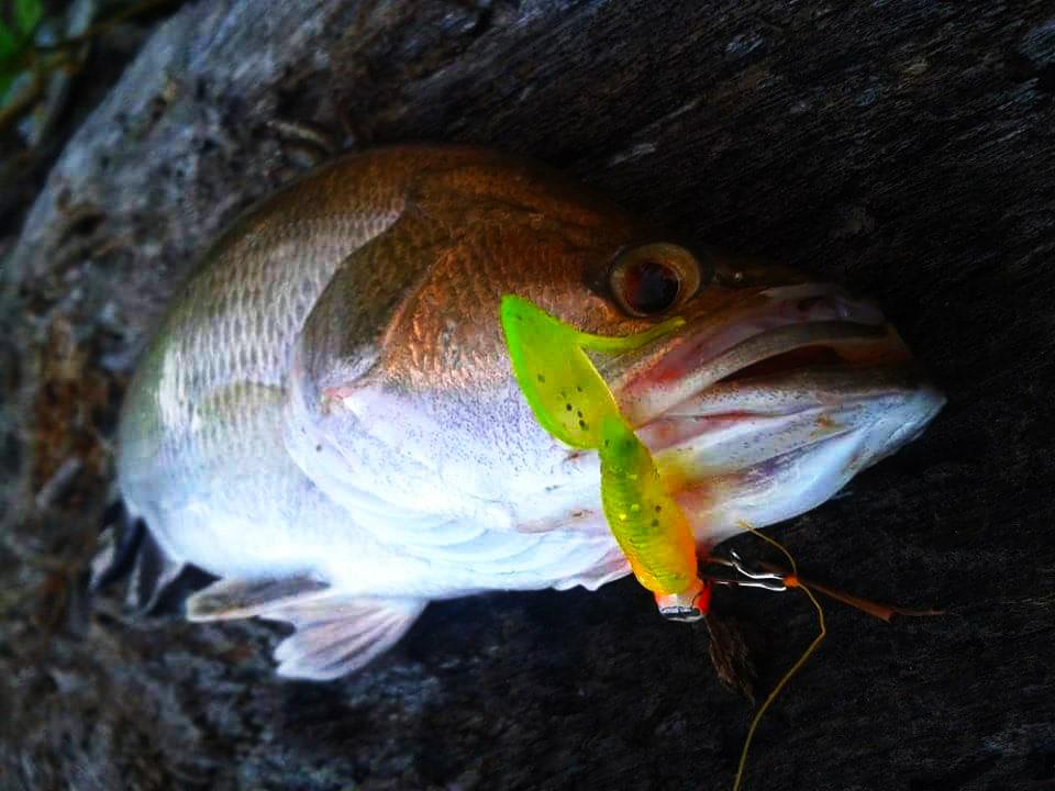 soft bait kanicen nix curly tail fluorescent green memikat Siakap Putih Barramundi