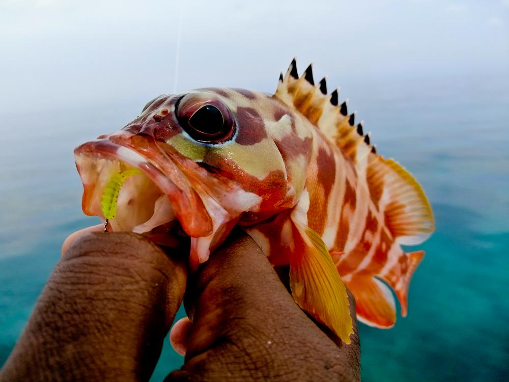 kanicen-nix-grenti-strike-softbait-brudu-ikan-kerapu-grouper