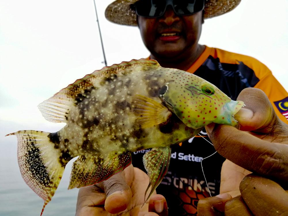 kanicen-nix-grenti-strike-softbait-brudu-tripletail-wrasse-ikan-karang