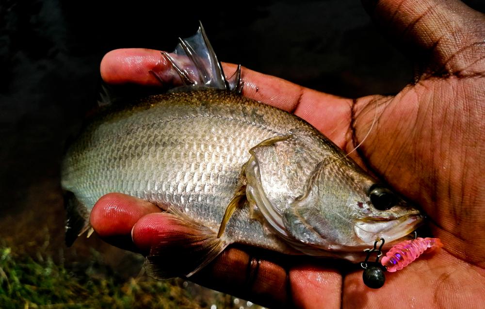 kanicen-nix-grenti-strike-softbait-on-brudu-ikan-siakap-putih-barramundi