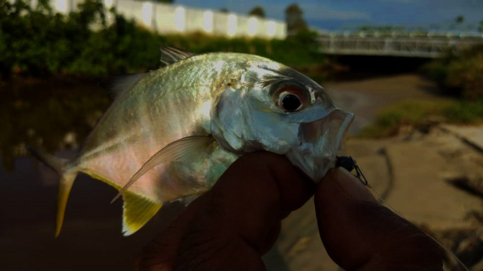 zamisma-abu-caught-baby-gt-giant-trevally-on-grenti-strike-brudu