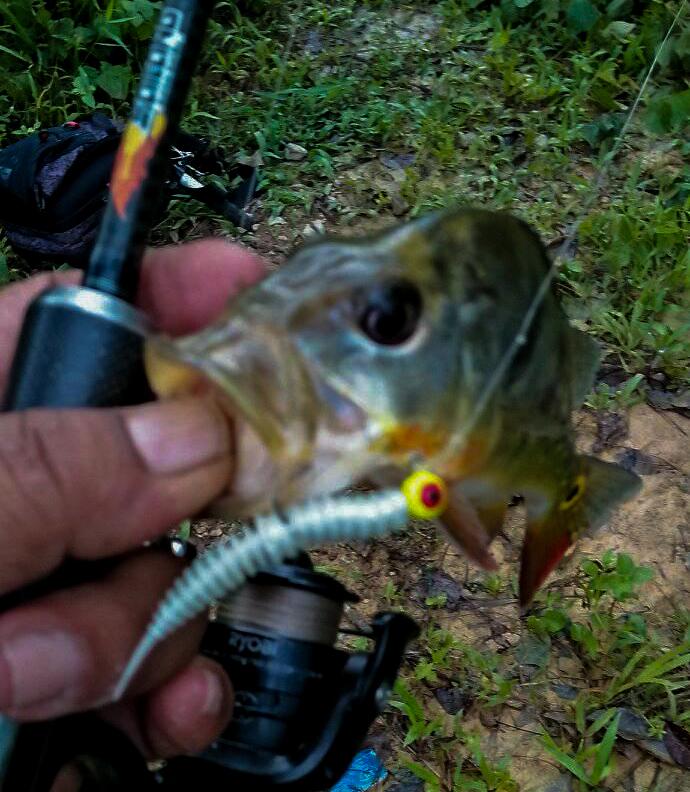 peacock-bass-menggunakan-softbait-kanicen-nix-grenti-strike-geli-geli-pearl-white