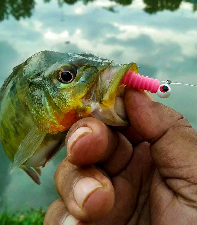 peacock-bass-menggunakan-softbait-kanicen-nix-grenti-strike-geli-geli-pink