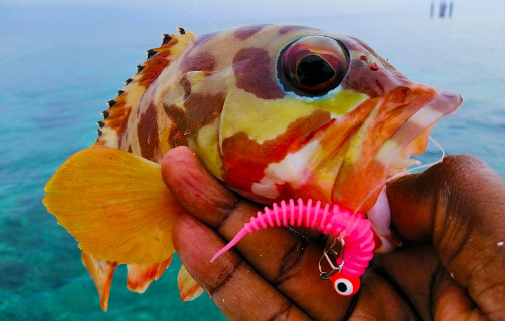 kanicen-nix-grenti-strike-geli-geli-grouper-kerapu-ikan-karang