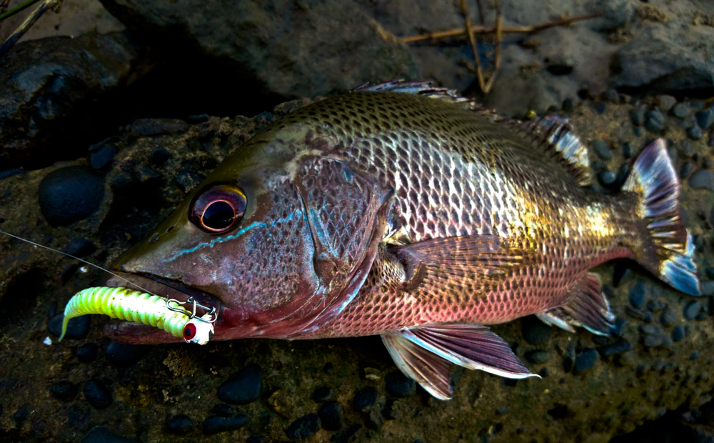 kanicen-nix-grenti-strike-geli-geli-ikan-siakap-merah-mangrove-jack.mj
